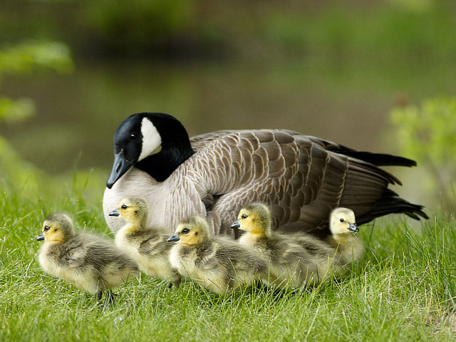 Stop KIlling Canada Geese!