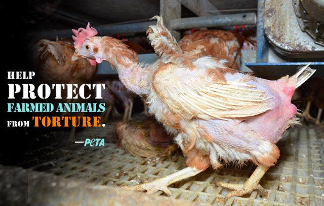 Kfc chicken torture