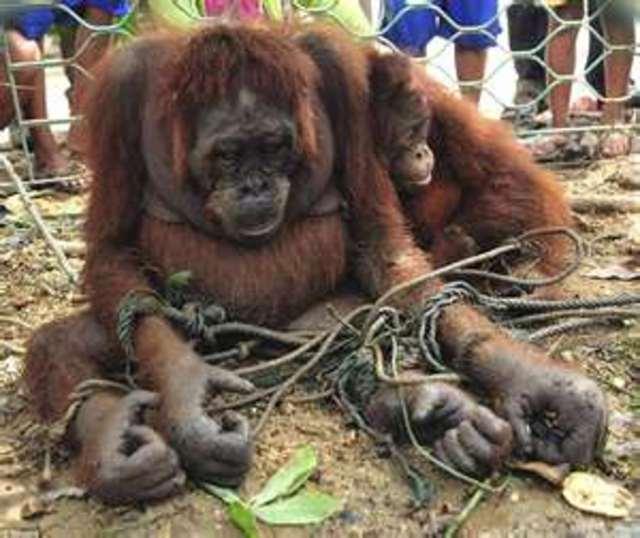 Save the Orangutan ~ rain forests and peatland destruction