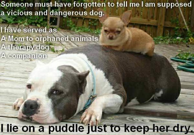 educate others on pitbulls &how they can help this misunderstood breed