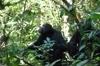 Innocent saving chimpanzees in Uganda