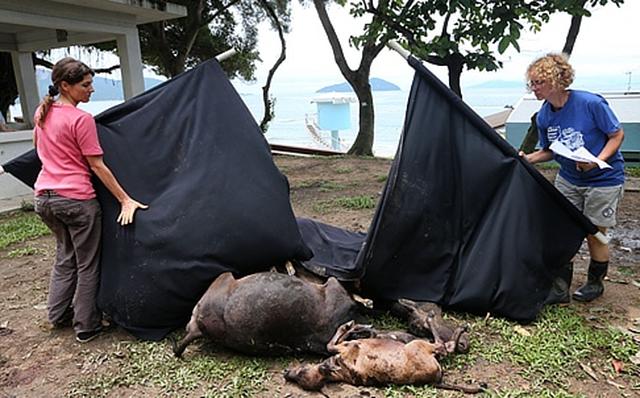 Protect for the cows and Buffalo of Hong Kong