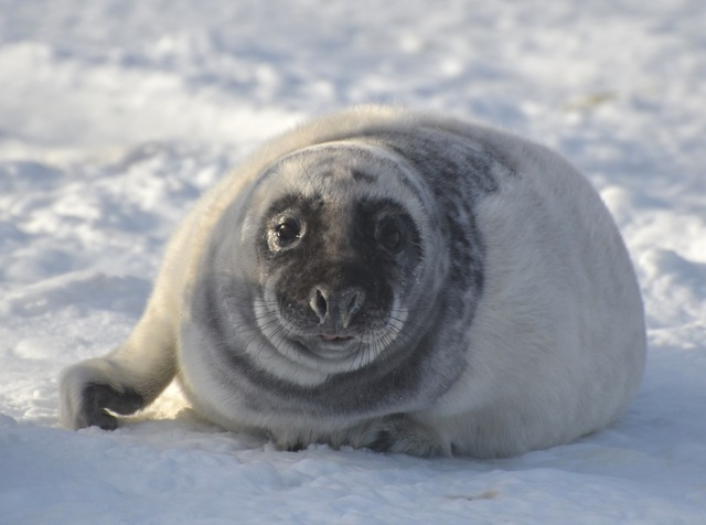 Stop Canada's Seal Hunt