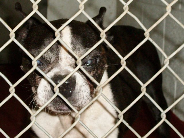 Help to finish building two senior centers for boston terriers in need