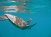 SEATURTLE.ORG - Global Sea Turtle Network