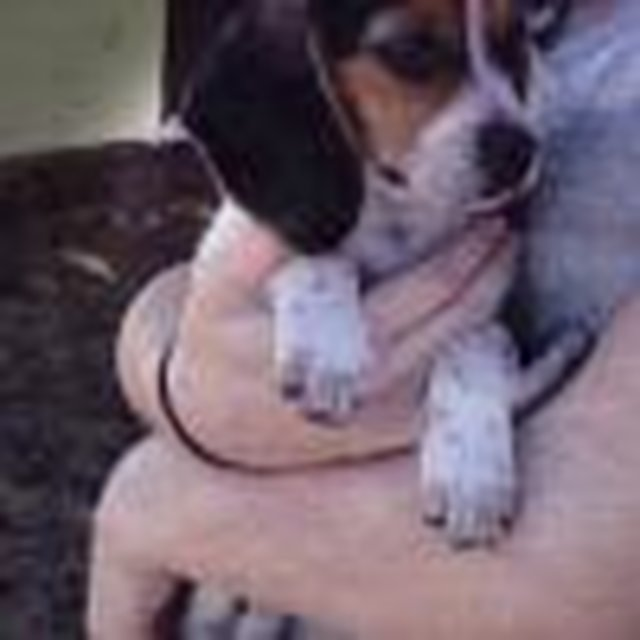 Justice for Molly - Baby Beagle Murdered