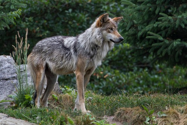 Tell USFWS to Take Emergency Action to Rescue the Mexican Gray Wolf!