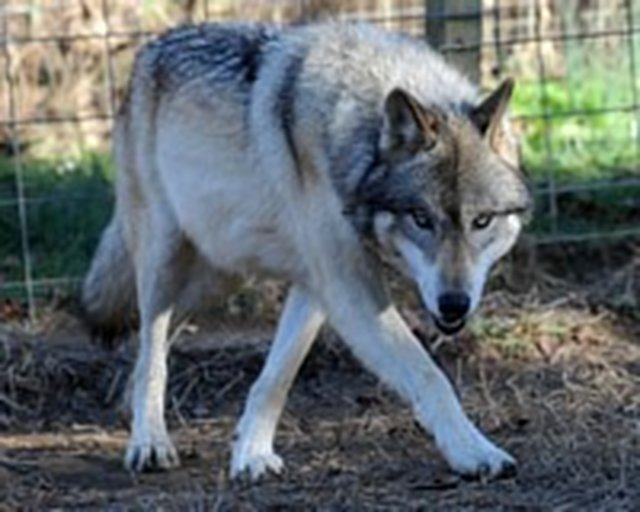 Help the wolfdogs at Full Moon Farm!