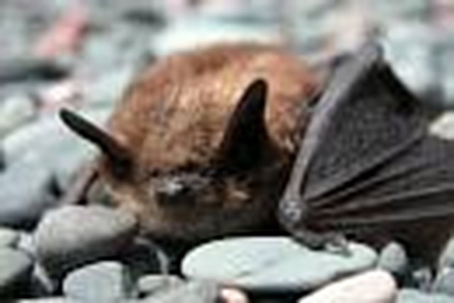 Save the brown bats from WNS