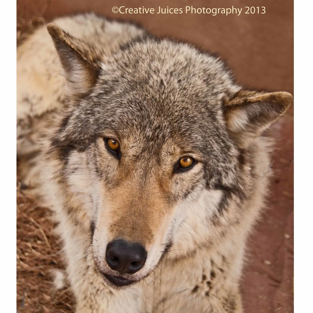 save our American Gray Wolves