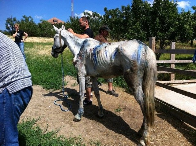help for Romanian horses needing sanctuary