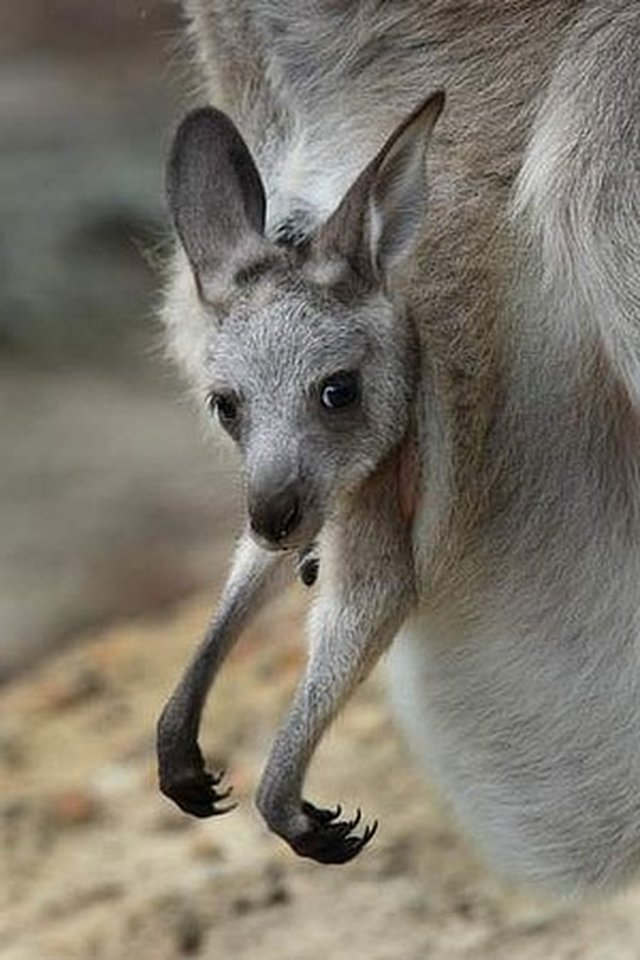 Tell Australia to STOP killing Kangaroos!