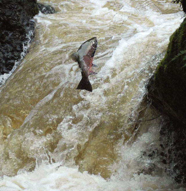 Stop the Extinction of Endangered Coho Salmon!