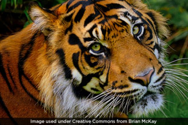 protect the Sumatran tigers