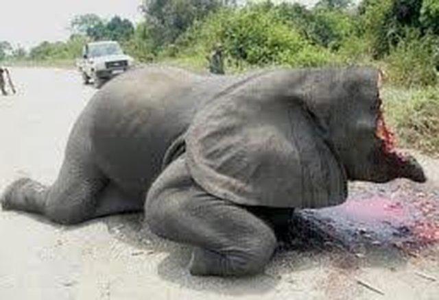 Detengan la masacre de los elefantes