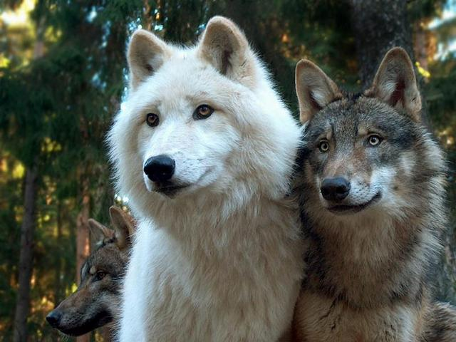 save our wolves