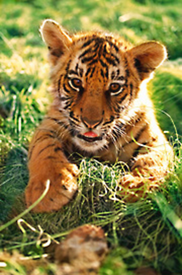 Help WWF Protect the Remaining 3,200 Wild Tigers, Other Species and Their Habitats