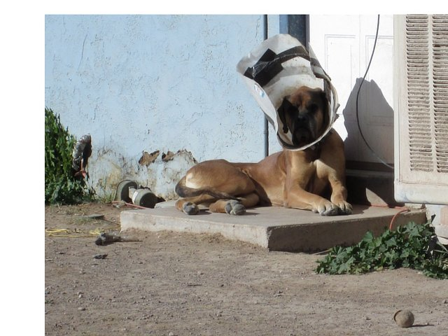 """Starving in Las Vegas Horse and English Mastiff! """