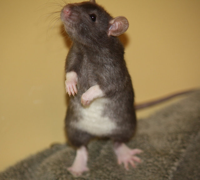 The Rat Retreat needs help with ongoing medical expenses