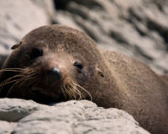 STOP! the Kangaroo Island Seal SLAUGHTER!