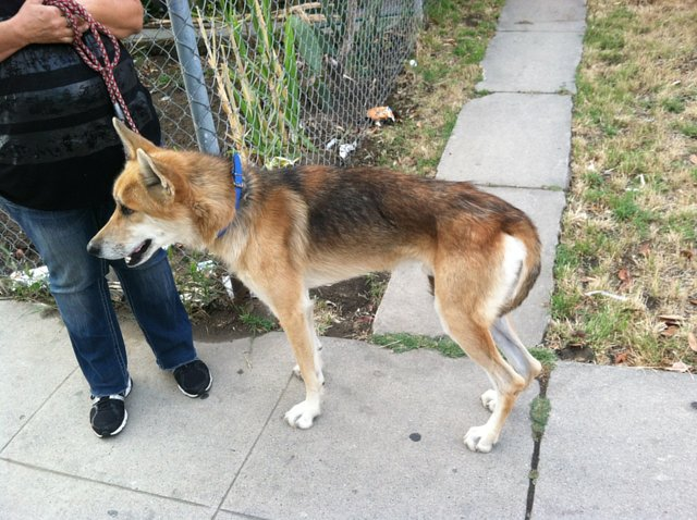 Los Angeles Homeless City wolf needs help.