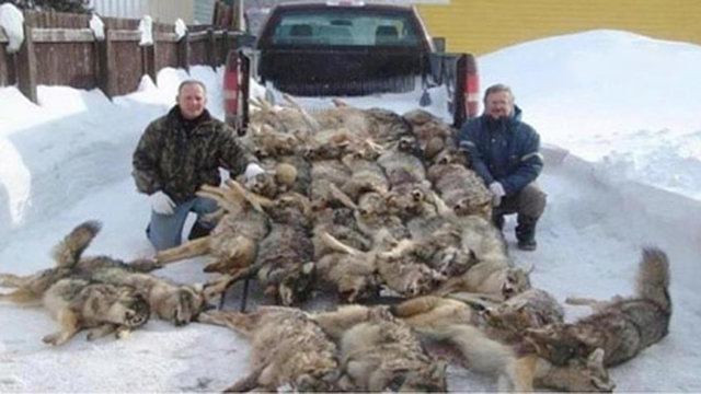 YOU and BVC Can Stop Wolf Killing!