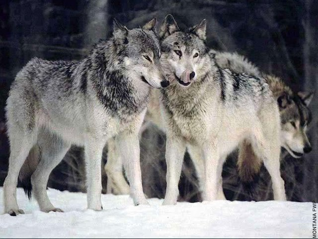Stop the Removal of Federal Protections for Endangered Gray Wolves!