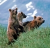 Help Save North America's Wild Grizzlies!