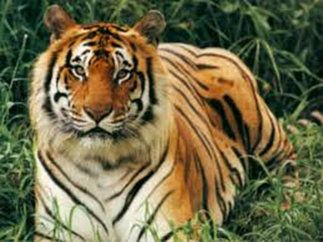 Money for the endangered  tigers