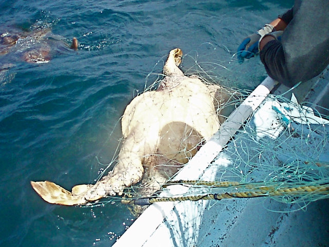 Pledge: I Will Help End the Killing of Loggerhead Sea Turtles in Baja Gillnets