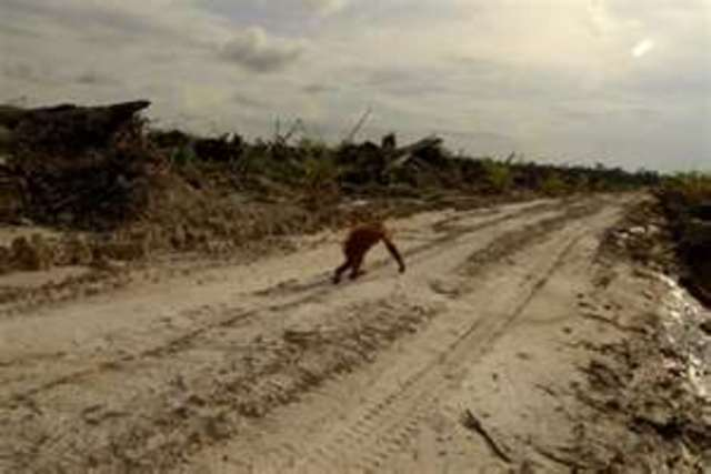 Save the Orangutan ~ rain forests and peatland destruction