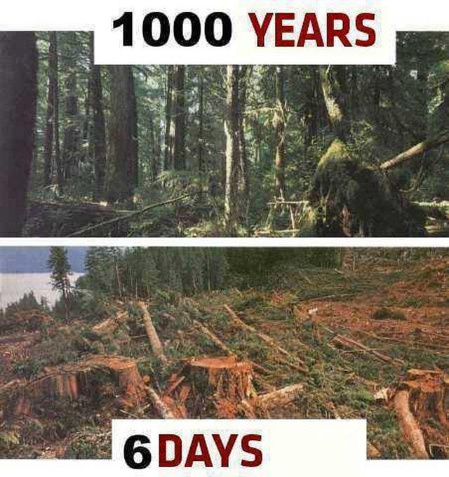 REPLANT TREES IN QC.CANADA. REPLANTONS DES ARBRES AU QUÉBEC,CANADA.