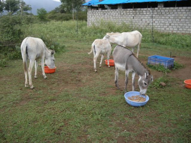Provide Relief to Working Animals in India