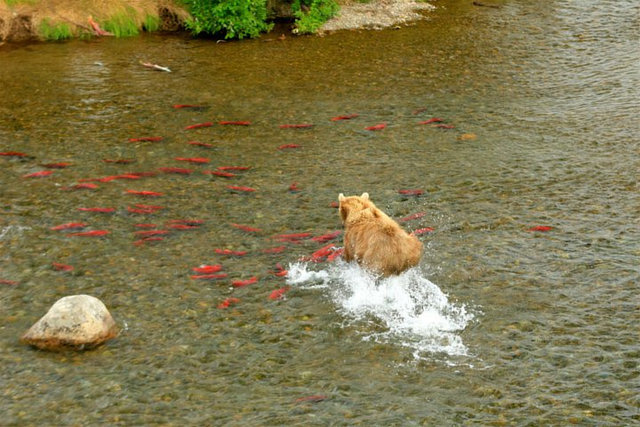 Save Alaska's Wild Salmon, Stop the Pebble Mine