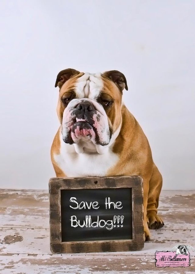 Save the English Bulldog Breed