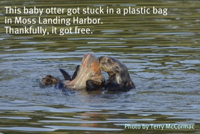 Save Otters and Turtles from Plastic Bags in the Monterey Bay