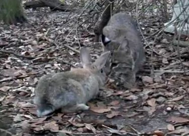 stop sacrificing rabbits for bobcat rehab program