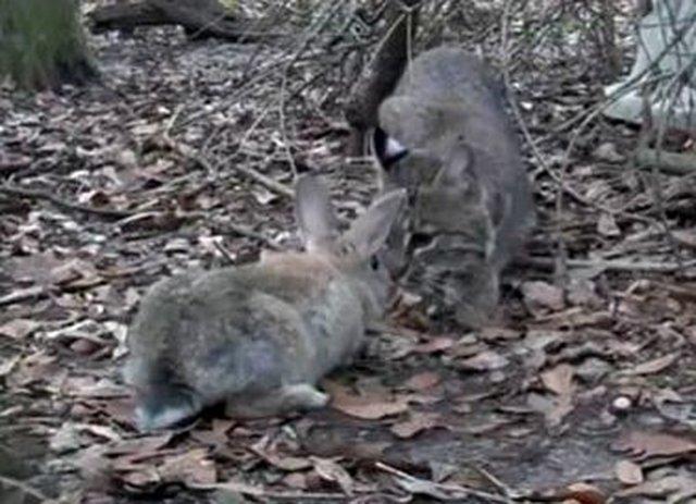 stop sacrificing rabbits for bobcat rehab program