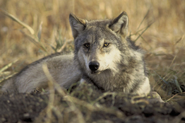 Help block Montana's anti-wolf SB 397