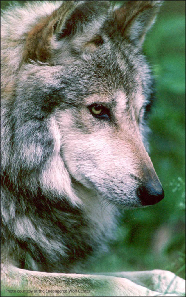 Tell FWS to Investigate the Tragic Killing of a Mexican Gray Wolf