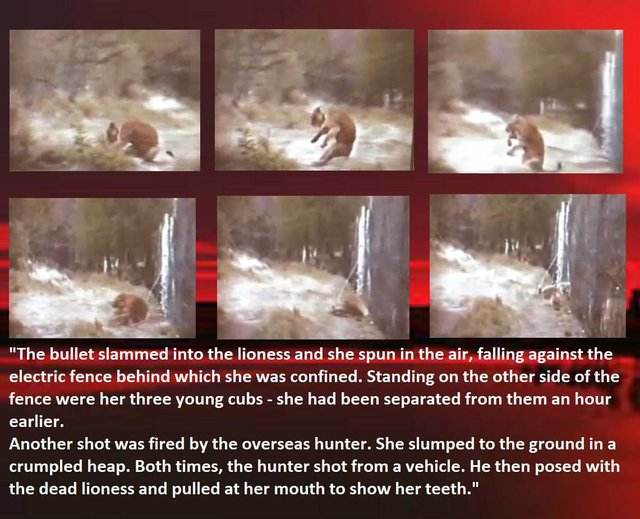 Save our Lions from canned hunting
