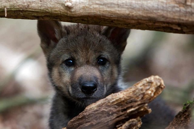 stop the wolf hunt in Michigan