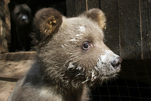 Name an Orphaned Bear Cub for Earth Day Contest