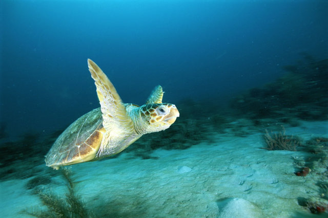 Tell Mexico: Protect Critically Endangered Sea Turtles