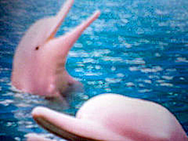 Petition: Please Help Amazon Pink Dolphins