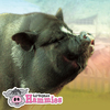 Support Our Sanctuary for Potbellied & Miniature Pigs!