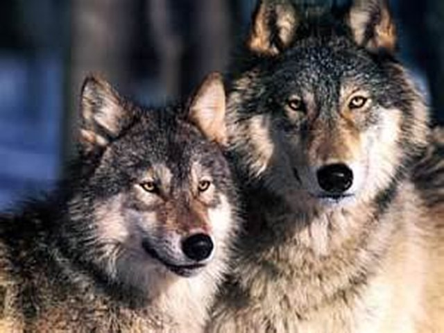 Grant Wolves Permanent Federal Protection
