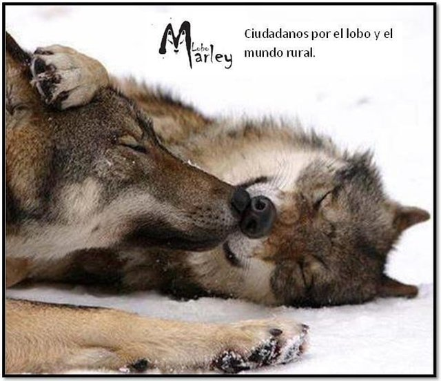 save the iberian wolf in Avila Council