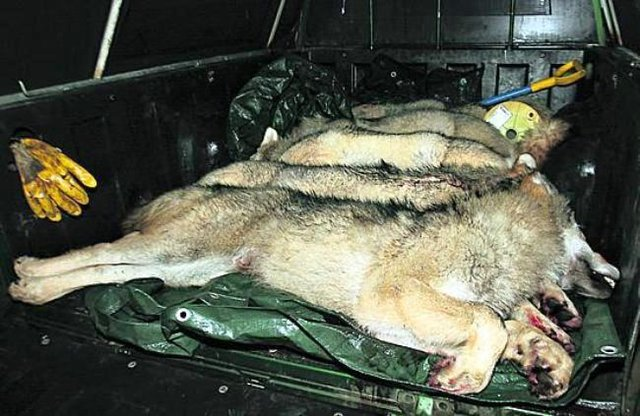 Save The Finnish Wolf! Stop Buying Reindeer Products!
