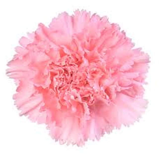Carnation Illumination Experiment